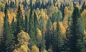Госдума рассмотрит новый законопроект, реформирующий лесную отрасль